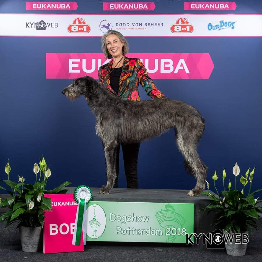Scottish Deerhound Sansa Eukanuba