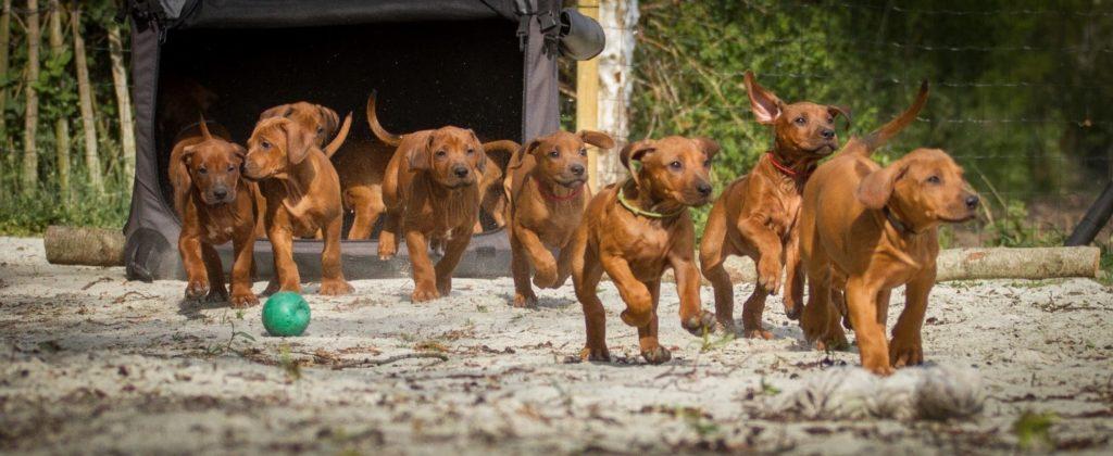 Rhodesian Ridgeback puppies rennen