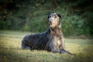 Scottish Deerhound Sansa